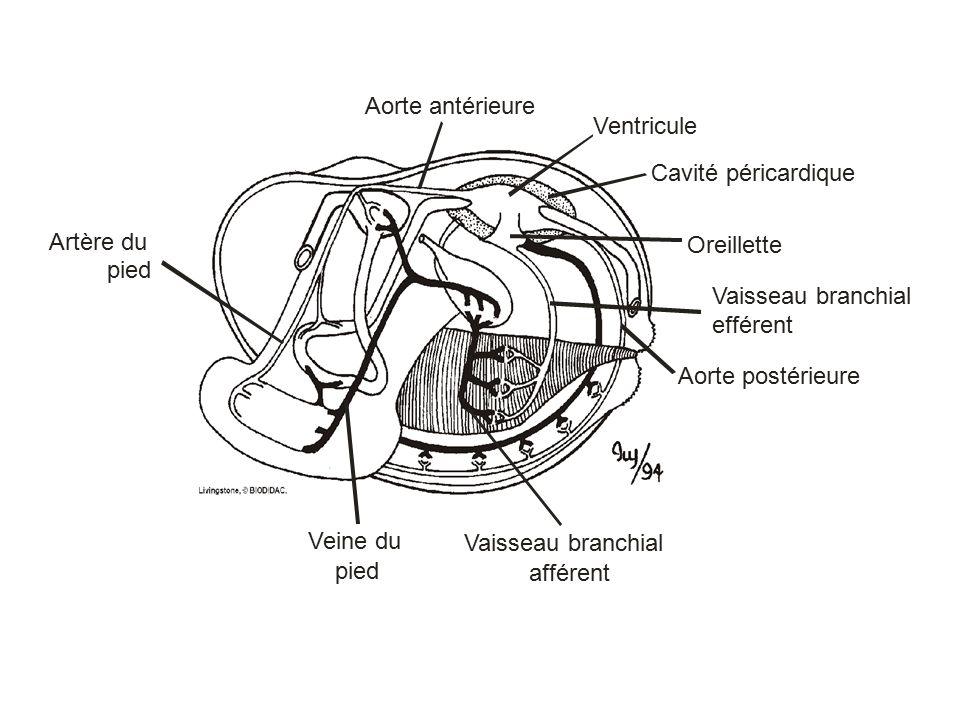 Veine du pied Vaisseau branchial efférent Vaisseau branchial afférent Artère du pied Cavité péricardique Aorte postérieure Aorte antérieure Ventricule Oreillette