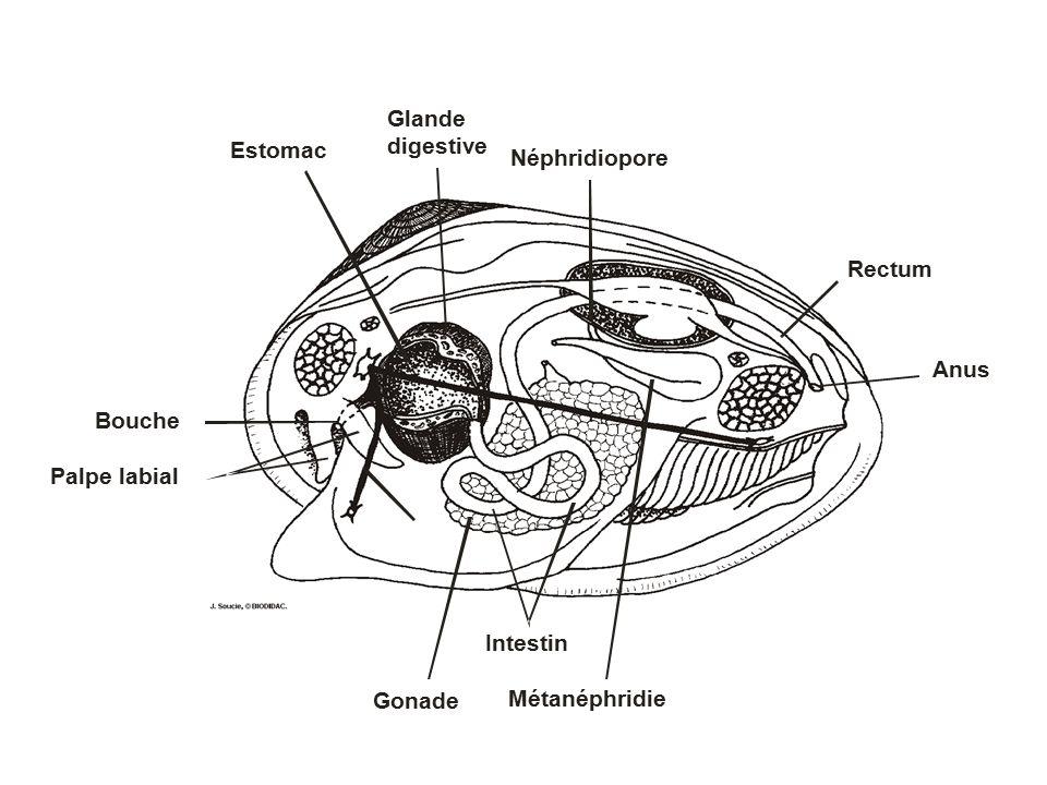 Anus Rectum Néphridiopore Estomac Glande digestive Bouche Palpe labial Gonade Métanéphridie Intestin