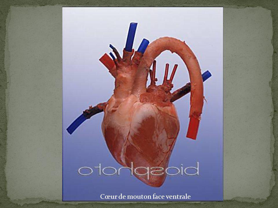Oreillette gauche Oreillette droite Ventricule gauche Sillon Ventricule droit Ventricule droit Coupe des ventricules Cœur de mouton face ventrale