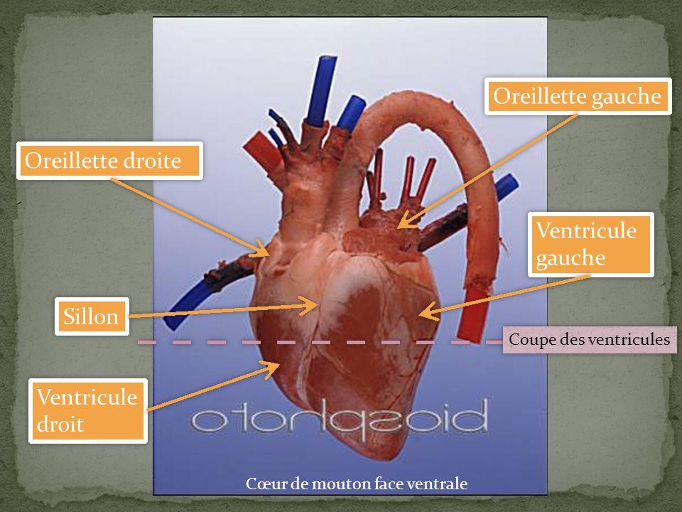 Coupe transversale d'un cœur au niveau des ventricules