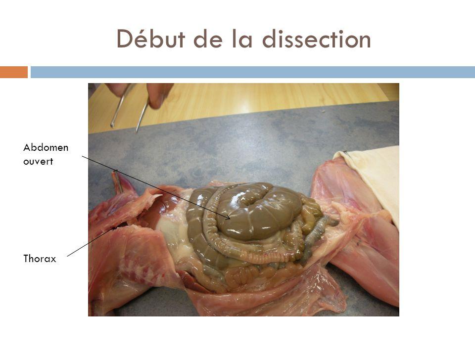 Sous le thorax: le cœur et les poumons Poumons Cœur Thorax ouvert