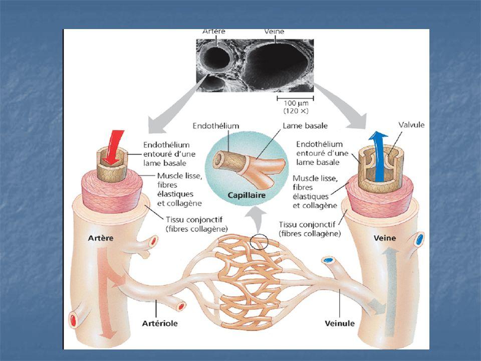 Les artères et artérioles Les artères transportent le sang du coeur vers les organes Les artères transportent le sang du coeur vers les organes Elles transportent du sang oxygéné (sauf les artères pulmonaires) Elles transportent du sang oxygéné (sauf les artères pulmonaires) Artères élastiques près du coeur Artères élastiques près du coeur Artères musculaires après le coeur Artères musculaires après le coeur Artérioles (plus petites artères) Artérioles (plus petites artères)