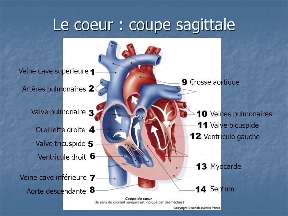 Le coeur : coupe sagittale Veine cave supérieure Artères pulmonaires Valve pulmonaire Oreillette droite Valve tricuspide Ventricule droit Veine cave i