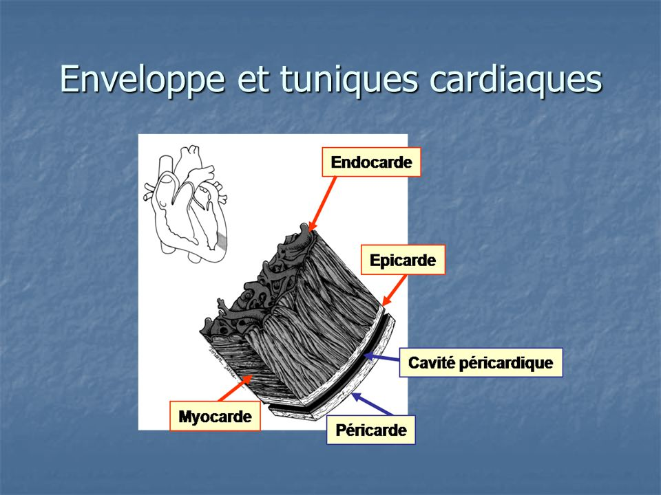 Épaisseur des ventricules
