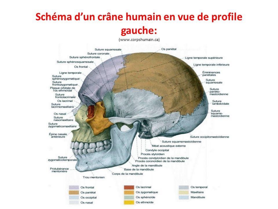 Schéma d'un crâne humain en vue de profile gauche: (www.corpshumain.ca)