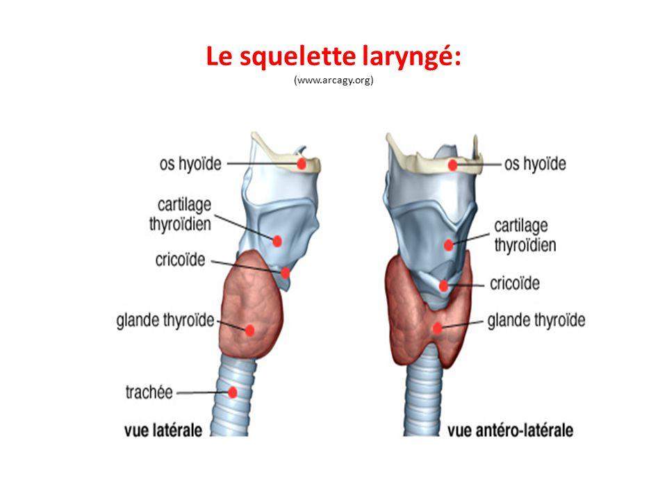 Le squelette laryngé: (www.arcagy.org)