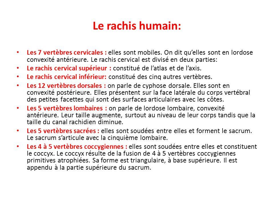Le rachis humain: Les 7 vertèbres cervicales : elles sont mobiles.