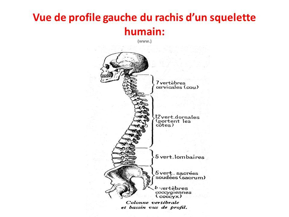 Vue de profile gauche du rachis d'un squelette humain: (www.)