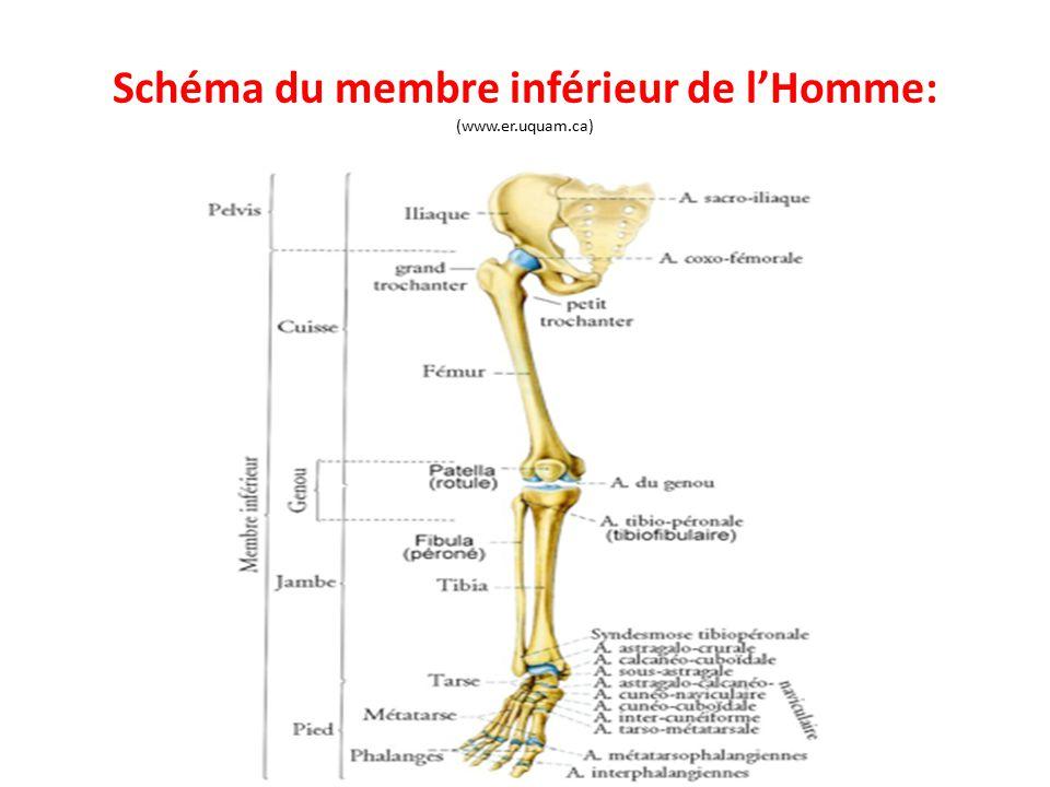 Schéma du membre inférieur de l'Homme: (www.er.uquam.ca)