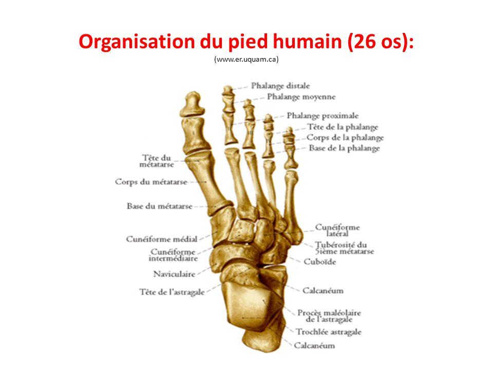 Organisation du pied humain (26 os): (www.er.uquam.ca)