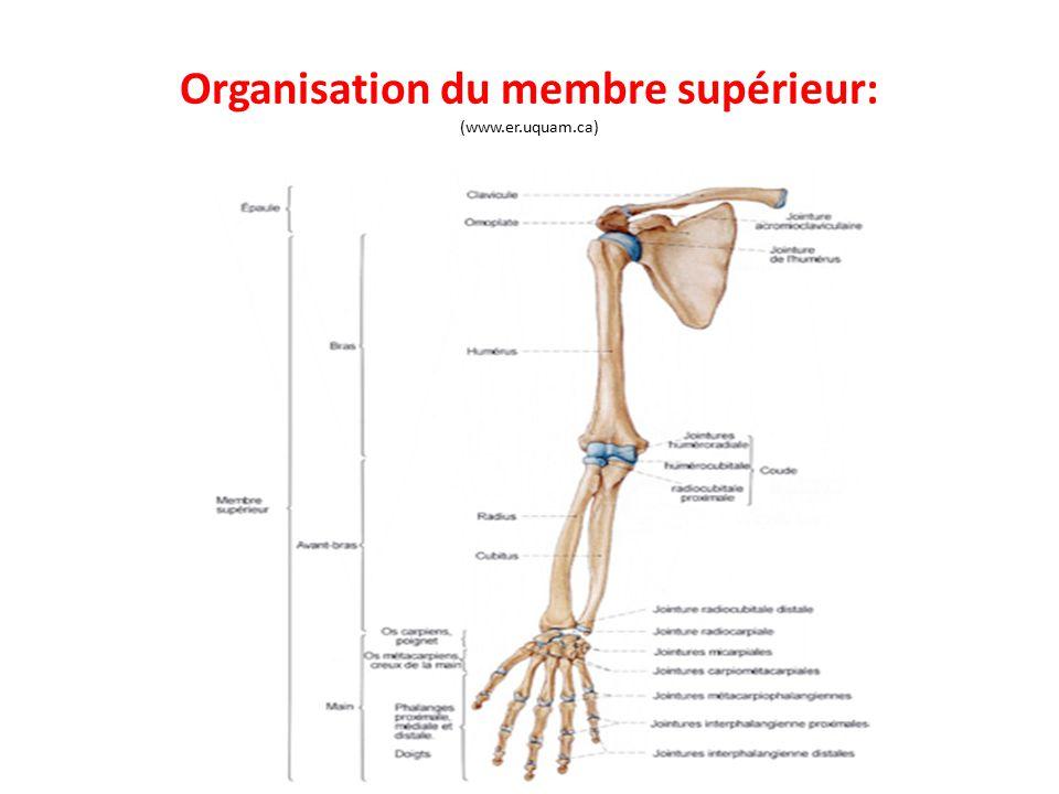 Organisation du membre supérieur: (www.er.uquam.ca)