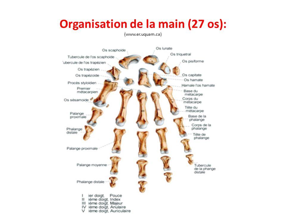 Organisation de la main (27 os): (www.er.uquam.ca)