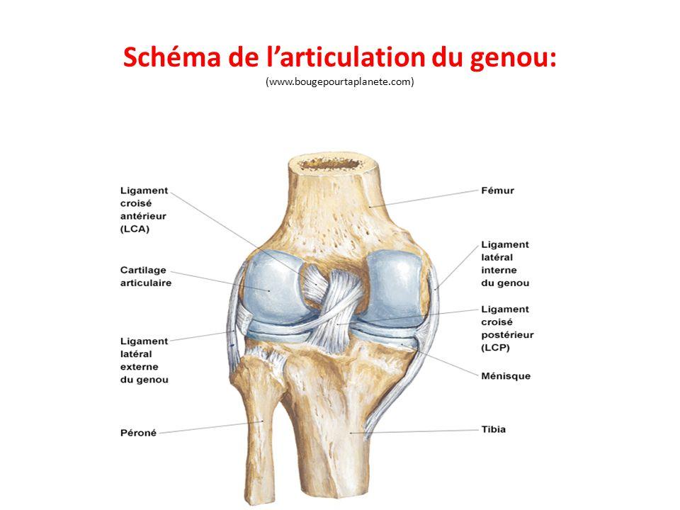 Schéma de l'articulation du genou: (www.bougepourtaplanete.com)