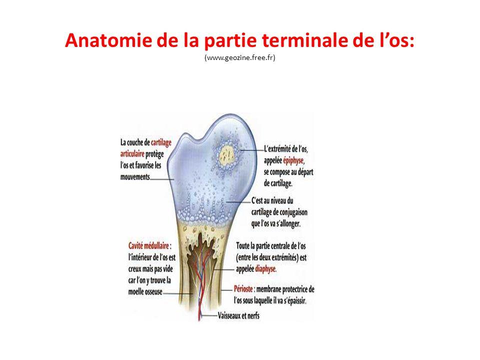 Anatomie de la partie terminale de l'os: (www.geozine.free.fr)