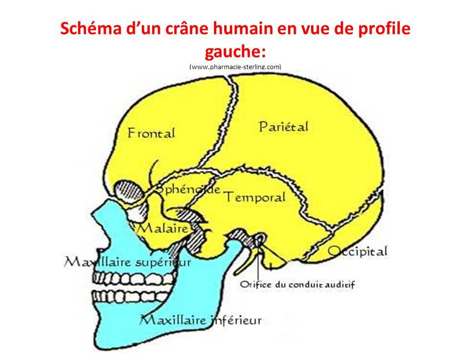 Schéma d'un crâne humain en vue de profile gauche: (www.pharmacie-sterling.com)
