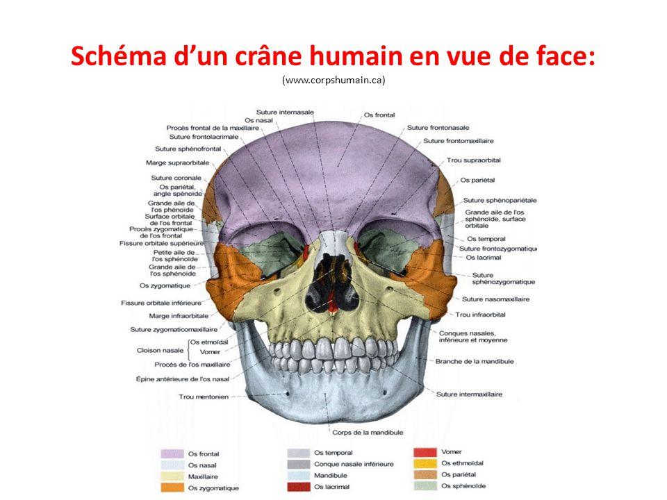Schéma d'un crâne humain en vue de face: (www.corpshumain.ca)