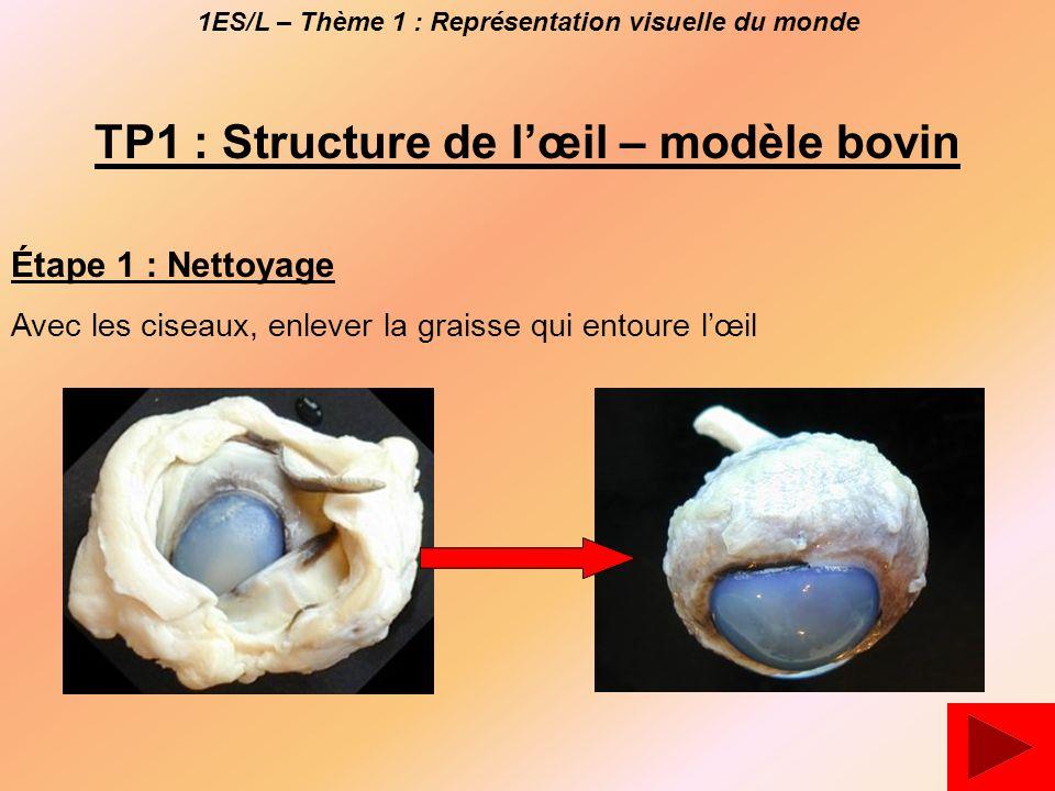 1ES/L – Thème 1 : Représentation visuelle du monde TP1 : Structure de l'œil – modèle bovin Étape 1 : Nettoyage Avec les ciseaux, enlever la graisse qui entoure l'œil
