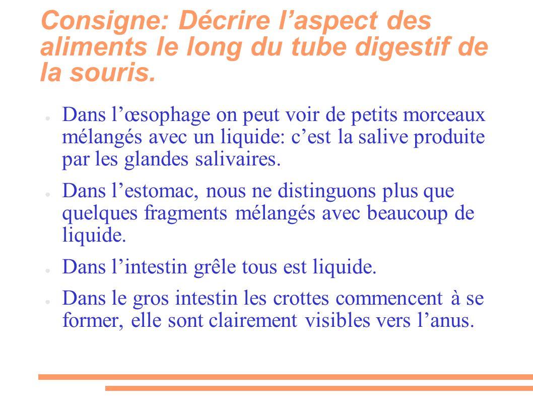 Consigne: Décrire l'aspect des aliments le long du tube digestif de la souris. ● Dans l'œsophage on peut voir de petits morceaux mélangés avec un liqu