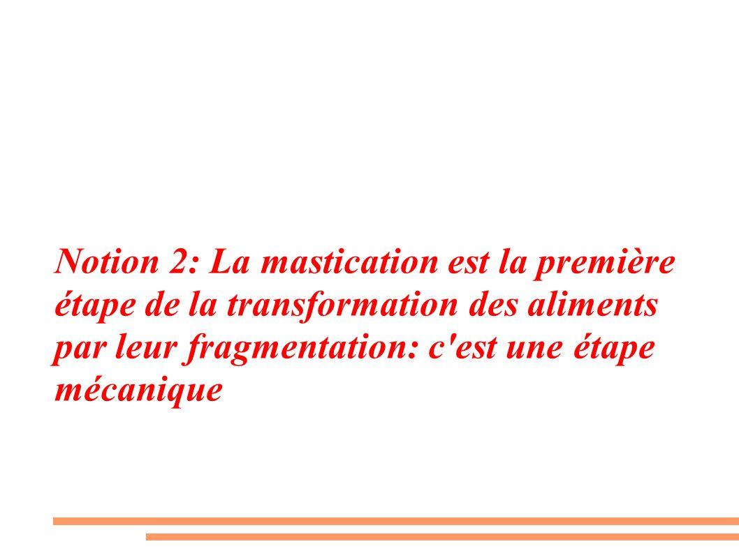 Notion 2: La mastication est la première étape de la transformation des aliments par leur fragmentation: c'est une étape mécanique