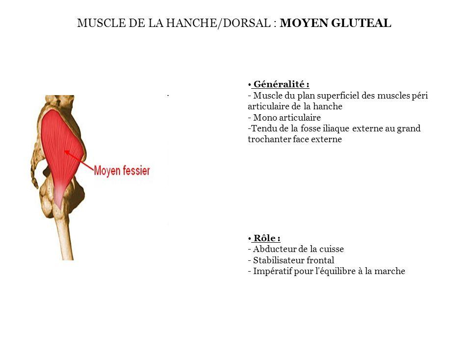 Généralité : - Muscle du plan superficiel des muscles péri articulaire de la hanche - Mono articulaire -Tendu de la fosse iliaque externe au grand tro