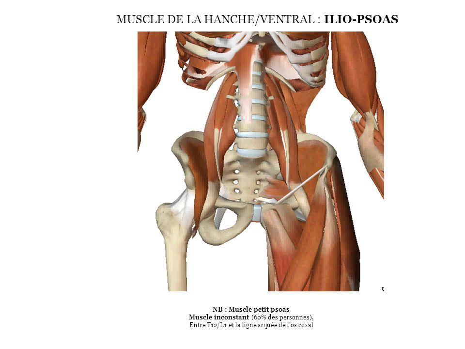 NB : Muscle petit psoas Muscle inconstant (60% des personnes), Entre T12/L1 et la ligne arquée de l'os coxal