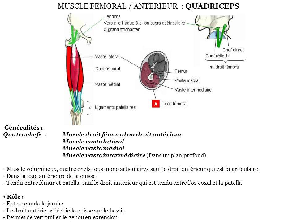 MUSCLE FEMORAL / ANTERIEUR : QUADRICEPS Généralités : Quatre chefs :Muscle droit fémoral ou droit antérieur Muscle vaste latéral Muscle vaste médial M