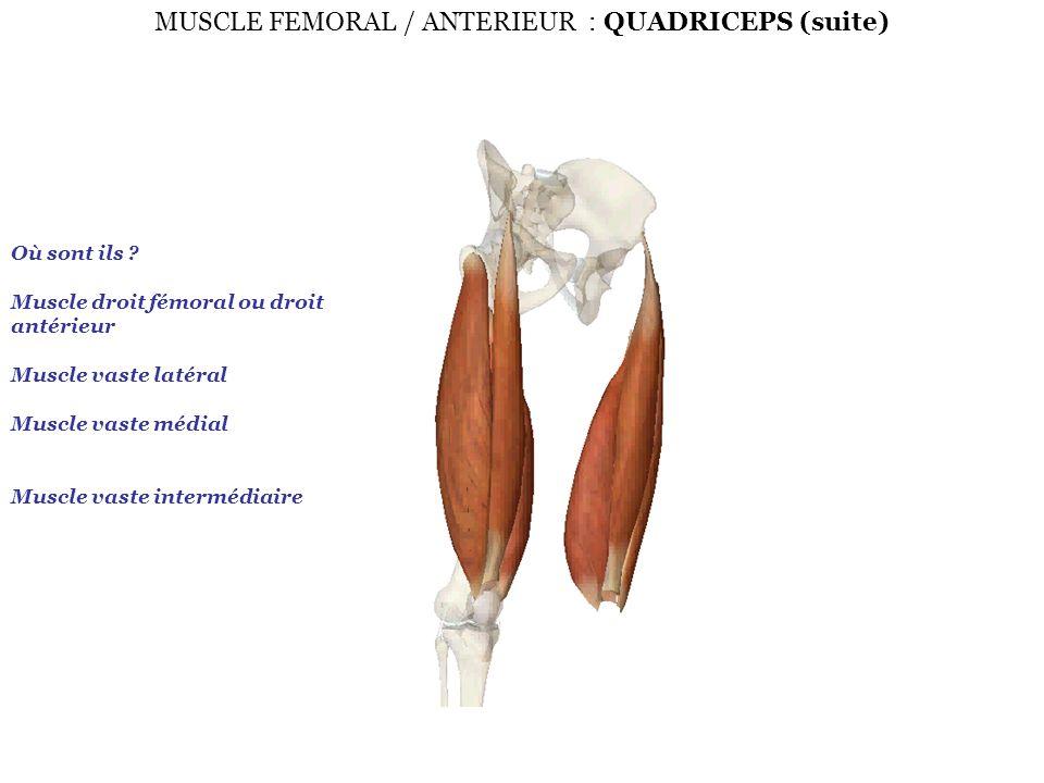 MUSCLE FEMORAL / ANTERIEUR : QUADRICEPS (suite) Où sont ils ? Muscle droit fémoral ou droit antérieur Muscle vaste latéral Muscle vaste médial Muscle
