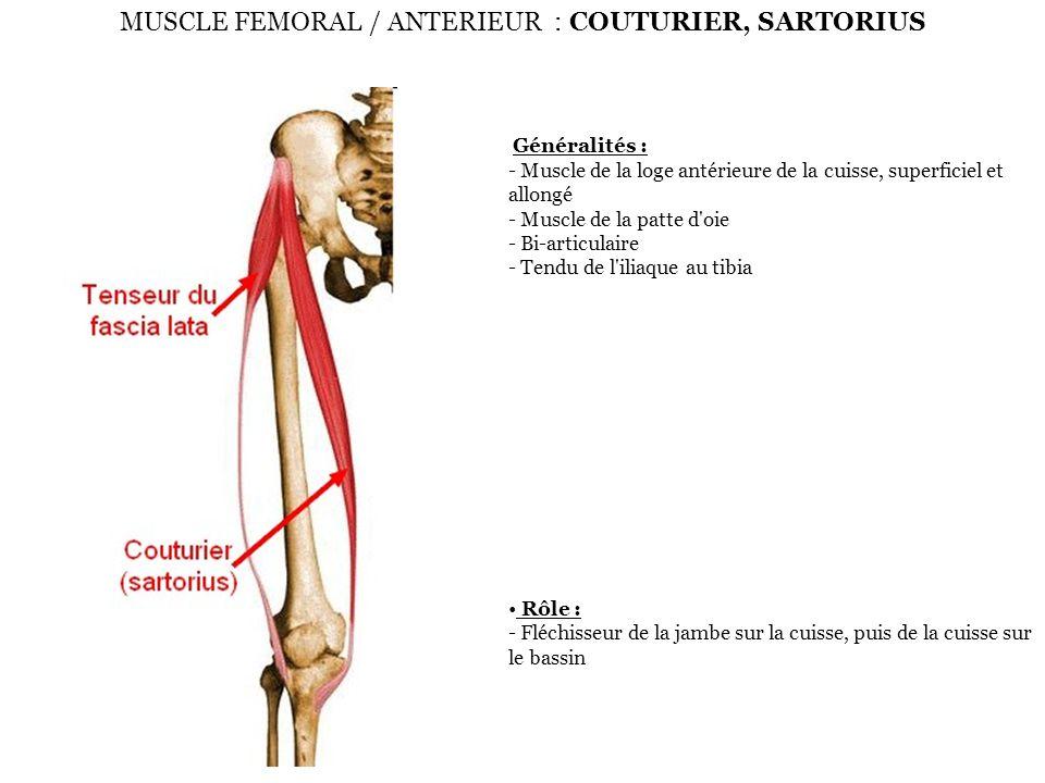 MUSCLE FEMORAL / ANTERIEUR : COUTURIER, SARTORIUS Généralités : - Muscle de la loge antérieure de la cuisse, superficiel et allongé - Muscle de la pat