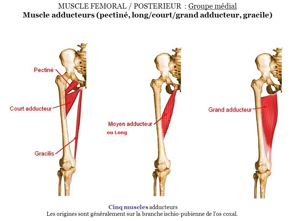 MUSCLE FEMORAL / POSTERIEUR : Groupe médial Muscle adducteurs (pectiné, long/court/grand adducteur, gracile) Cinq muscles adducteurs Les origines sont