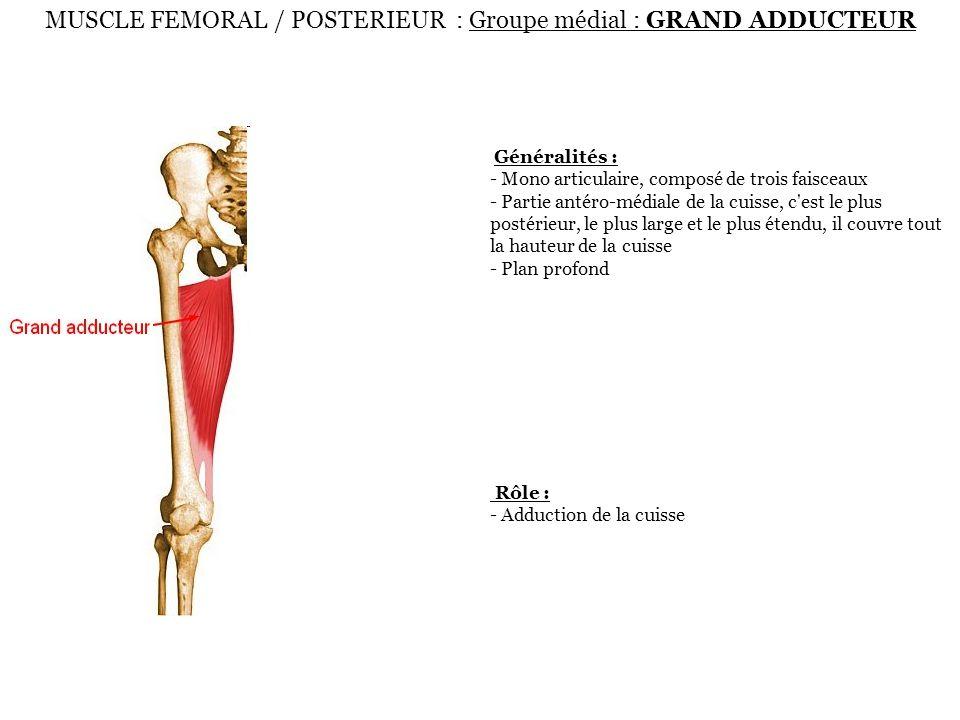 MUSCLE FEMORAL / POSTERIEUR : Groupe médial : GRAND ADDUCTEUR Généralités : - Mono articulaire, composé de trois faisceaux - Partie antéro-médiale de