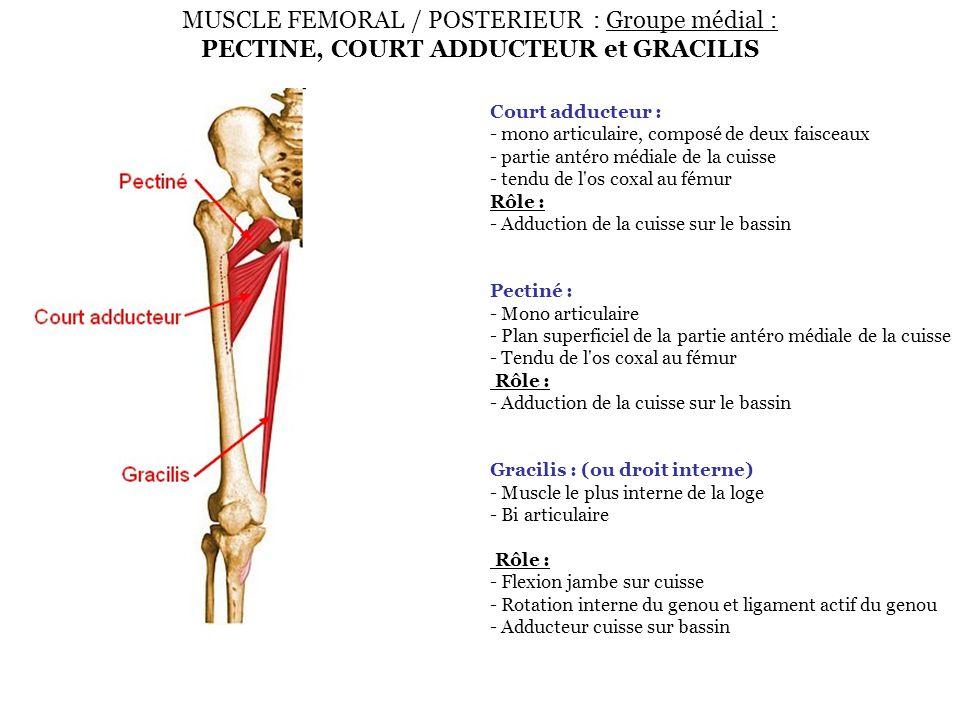 MUSCLE FEMORAL / POSTERIEUR : Groupe médial : PECTINE, COURT ADDUCTEUR et GRACILIS Court adducteur : - mono articulaire, composé de deux faisceaux - p