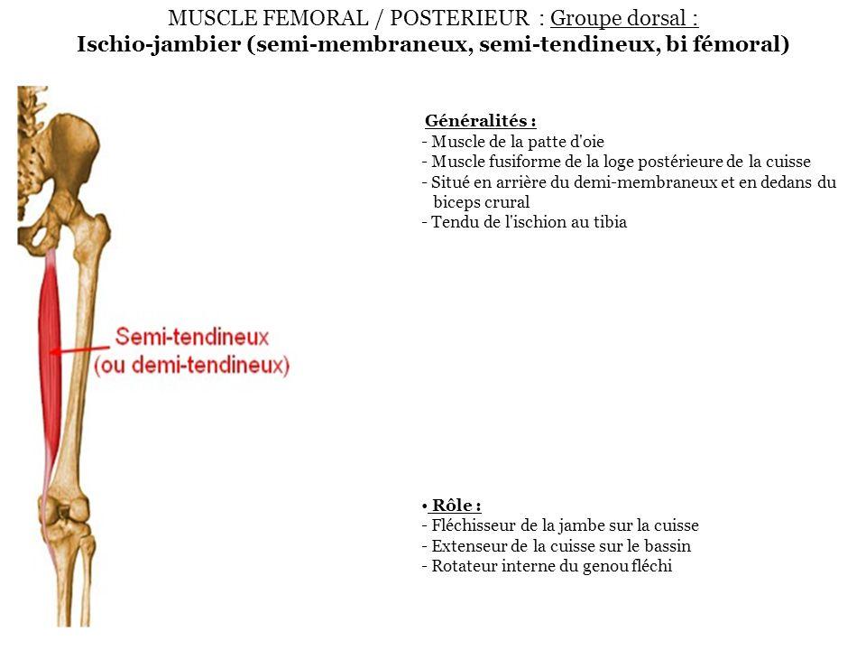 MUSCLE FEMORAL / POSTERIEUR : Groupe dorsal : Ischio-jambier (semi-membraneux, semi-tendineux, bi fémoral) Généralités : - Muscle de la patte d'oie -