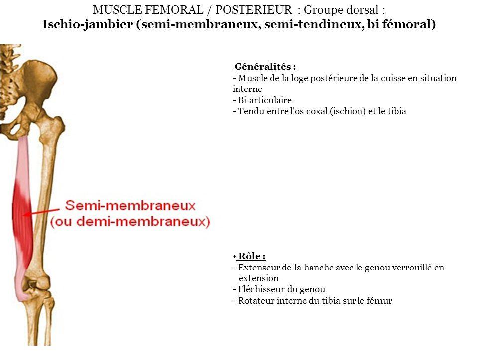 MUSCLE FEMORAL / POSTERIEUR : Groupe dorsal : Ischio-jambier (semi-membraneux, semi-tendineux, bi fémoral) Généralités : - Muscle de la loge postérieu