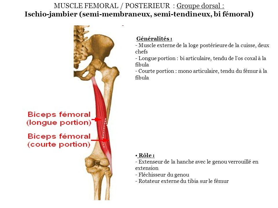 MUSCLE FEMORAL / POSTERIEUR : Groupe dorsal : Ischio-jambier (semi-membraneux, semi-tendineux, bi fémoral) Généralités : - Muscle externe de la loge p