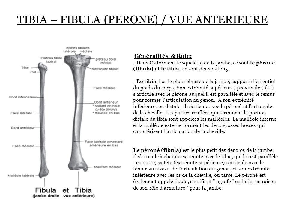 TIBIA – FIBULA (PERONE)  / VUE ANTERIEURE Généralités & Role: - Deux Os forment le squelette de la jambe, ce sont le péroné (fibula) et le tibia, ce