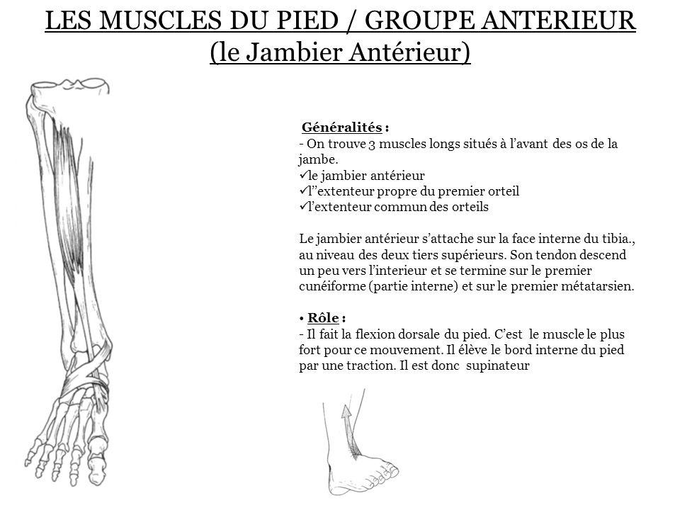 LES MUSCLES DU PIED / GROUPE ANTERIEUR (le Jambier Antérieur) Généralités : - On trouve 3 muscles longs situés à l'avant des os de la jambe. le jambie