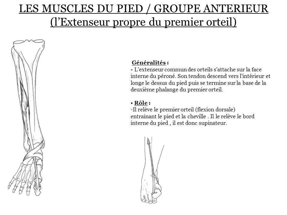 LES MUSCLES DU PIED / GROUPE ANTERIEUR (l'Extenseur propre du premier orteil) Généralités : - L'extenseur commun des orteils s'attache sur la face int