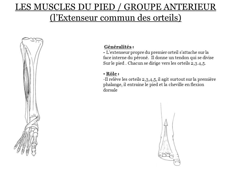 LES MUSCLES DU PIED / GROUPE ANTERIEUR (l'Extenseur commun des orteils) Généralités : - L'extenseur propre du premier orteil s'attache sur la face int