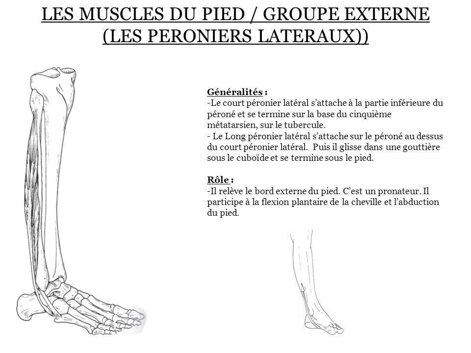 LES MUSCLES DU PIED / GROUPE EXTERNE (LES PERONIERS LATERAUX)) Généralités : -Le court péronier latéral s'attache à la partie inférieure du péroné et