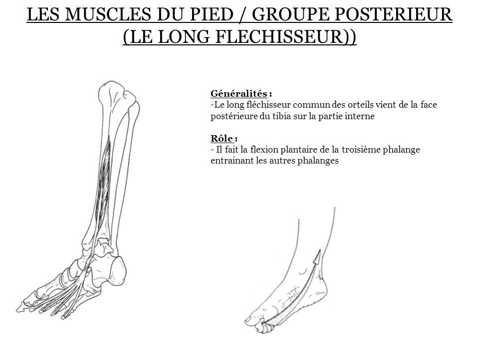 LES MUSCLES DU PIED / GROUPE POSTERIEUR (LE LONG FLECHISSEUR)) Généralités : -Le long fléchisseur commun des orteils vient de la face postérieure du t