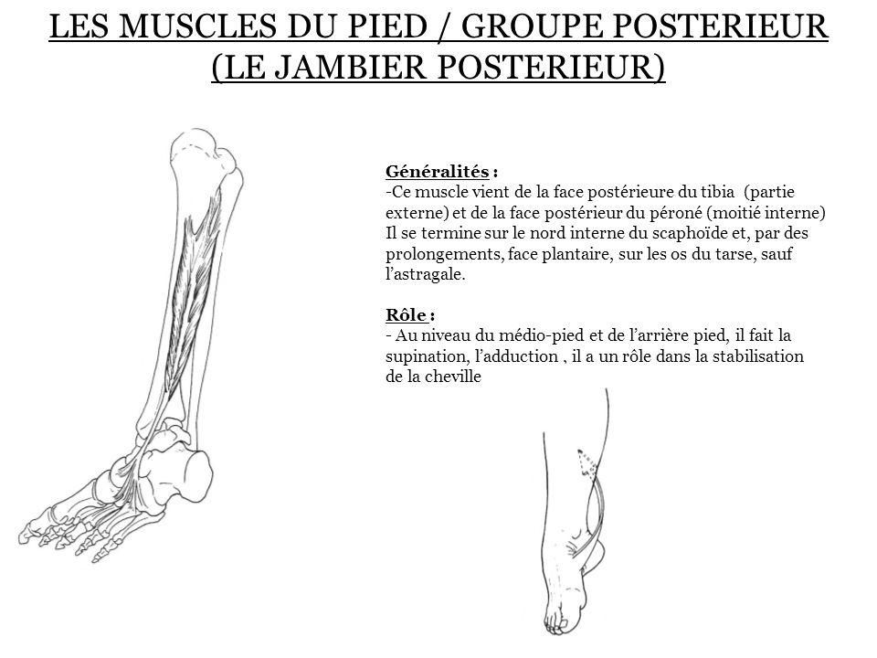 LES MUSCLES DU PIED / GROUPE POSTERIEUR (LE JAMBIER POSTERIEUR) Généralités : -Ce muscle vient de la face postérieure du tibia (partie externe) et de