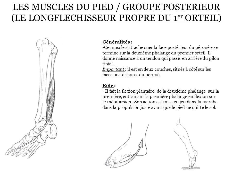 LES MUSCLES DU PIED / GROUPE POSTERIEUR (LE LONGFLECHISSEUR PROPRE DU 1 er ORTEIL) Généralités : -Ce muscle s'attache suer la face postérieur du péron