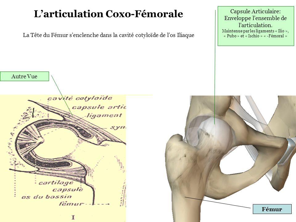 Capsule Articulaire: Enveloppe l'ensemble de l'articulation. Maintenue par les ligaments « Ilio », « Pubo » et « Ischio » « -Fémoral » L'articulation