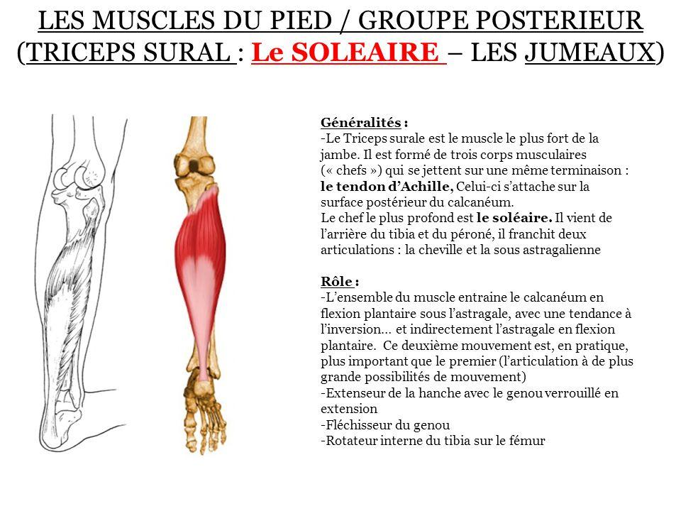 LES MUSCLES DU PIED / GROUPE POSTERIEUR (TRICEPS SURAL : Le SOLEAIRE – LES JUMEAUX) Généralités : -Le Triceps surale est le muscle le plus fort de la