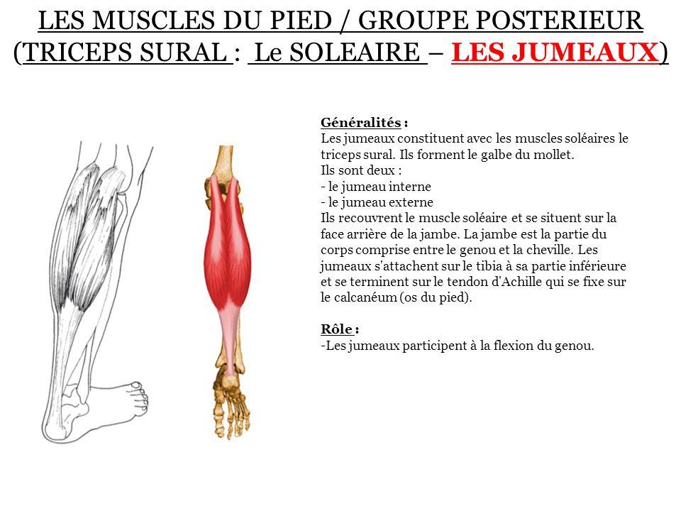 LES MUSCLES DU PIED / GROUPE POSTERIEUR (TRICEPS SURAL : Le SOLEAIRE – LES JUMEAUX) Généralités : Les jumeaux constituent avec les muscles soléaires l