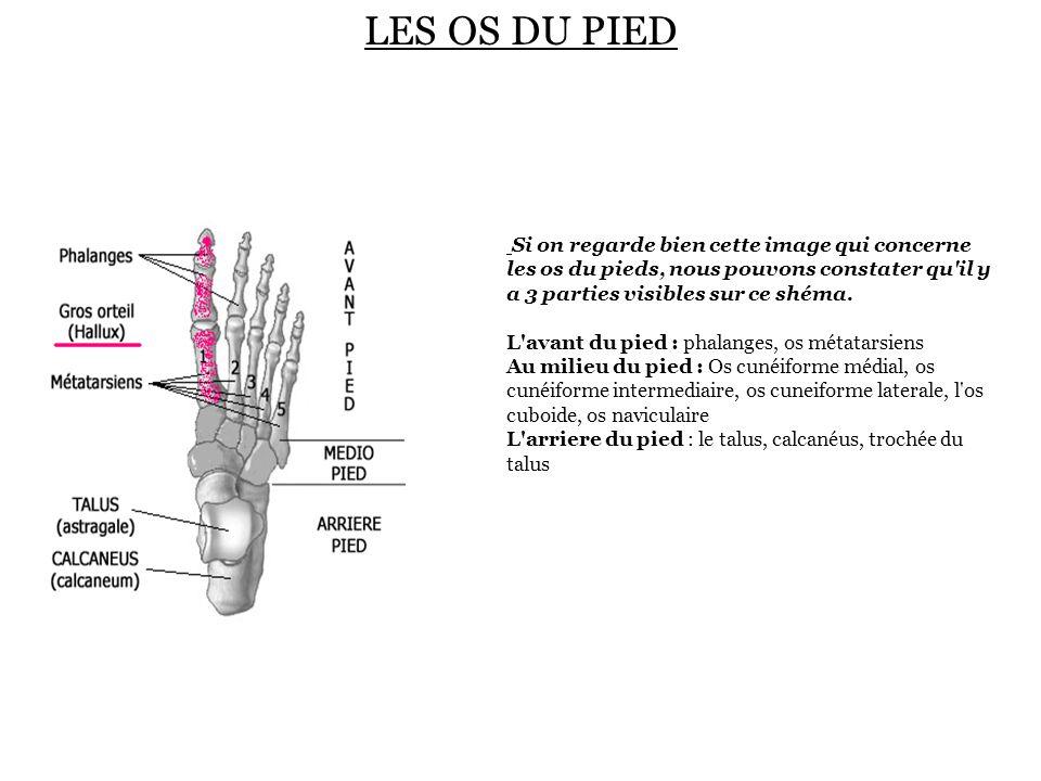 LES OS DU PIED Si on regarde bien cette image qui concerne les os du pieds, nous pouvons constater qu'il y a 3 parties visibles sur ce shéma. L'avant