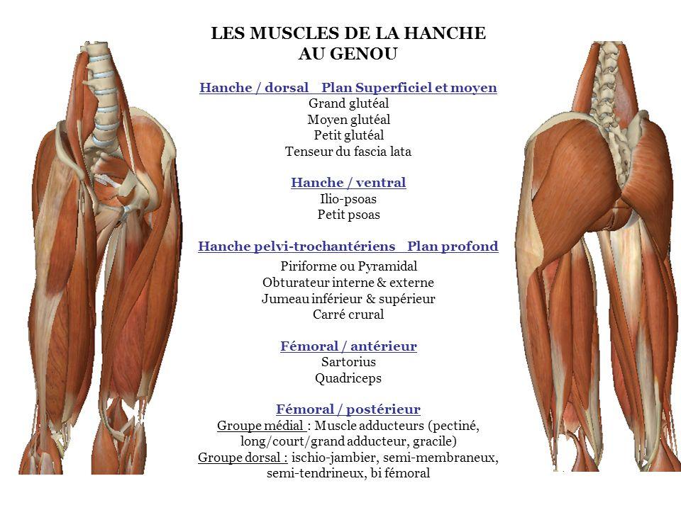 MUSCLE FEMORAL / POSTERIEUR : Groupe dorsal : Ischio-jambier (semi-membraneux, semi-tendineux, bi fémoral) Généralités : - Muscle externe de la loge postérieure de la cuisse, deux chefs - Longue portion : bi articulaire, tendu de l os coxal à la fibula - Courte portion : mono articulaire, tendu du fémur à la fibula Rôle : - Extenseur de la hanche avec le genou verrouillé en extension - Fléchisseur du genou - Rotateur externe du tibia sur le fémur