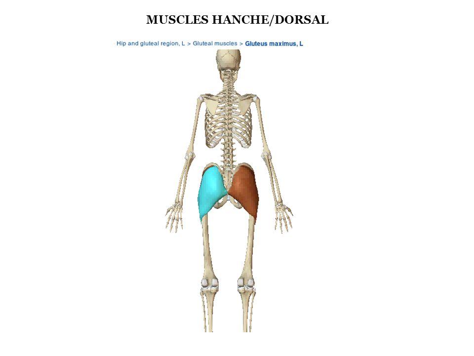 MUSCLE DE LA HANCHE/DORSAL : GRAND GLUTEAL Généralité : - Muscle du plan superficiel des muscles péri articulaire de la hanche - Il est constitué de deux faisceaux : superficiel et profond - Tendu de l os coxal, du sacrum et du coccyx au grand trochanter - C est le muscle le plus volumineux et puissant de l organisme Rôle : - Extenseur de la cuisse sur le bassin - Stabilisation verticale - Rotateur externe cuisse/bassin - Abducteur