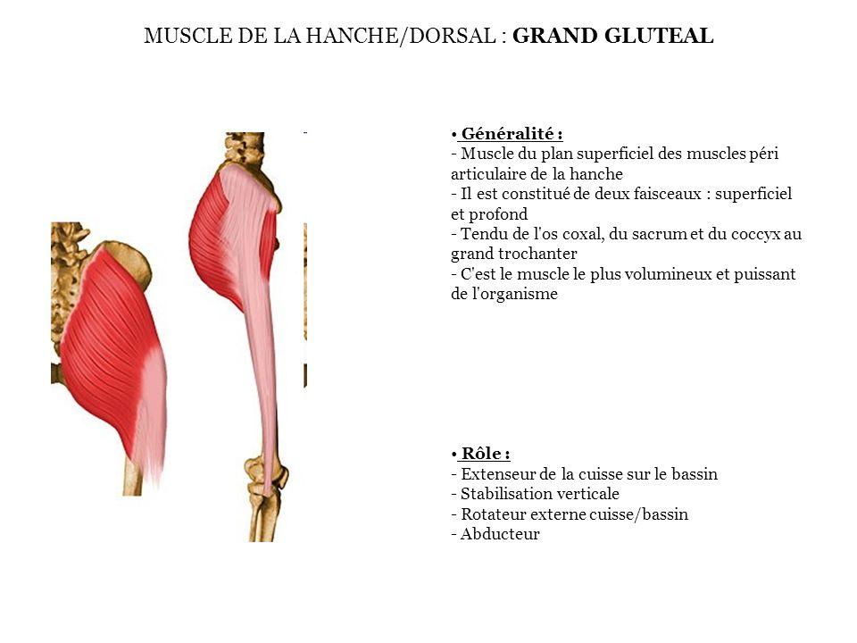 Généralité : - Muscle du plan superficiel des muscles péri articulaire de la hanche - Mono articulaire -Tendu de la fosse iliaque externe au grand trochanter face externe Rôle : - Abducteur de la cuisse - Stabilisateur frontal - Impératif pour l équilibre à la marche MUSCLE DE LA HANCHE/DORSAL : MOYEN GLUTEAL