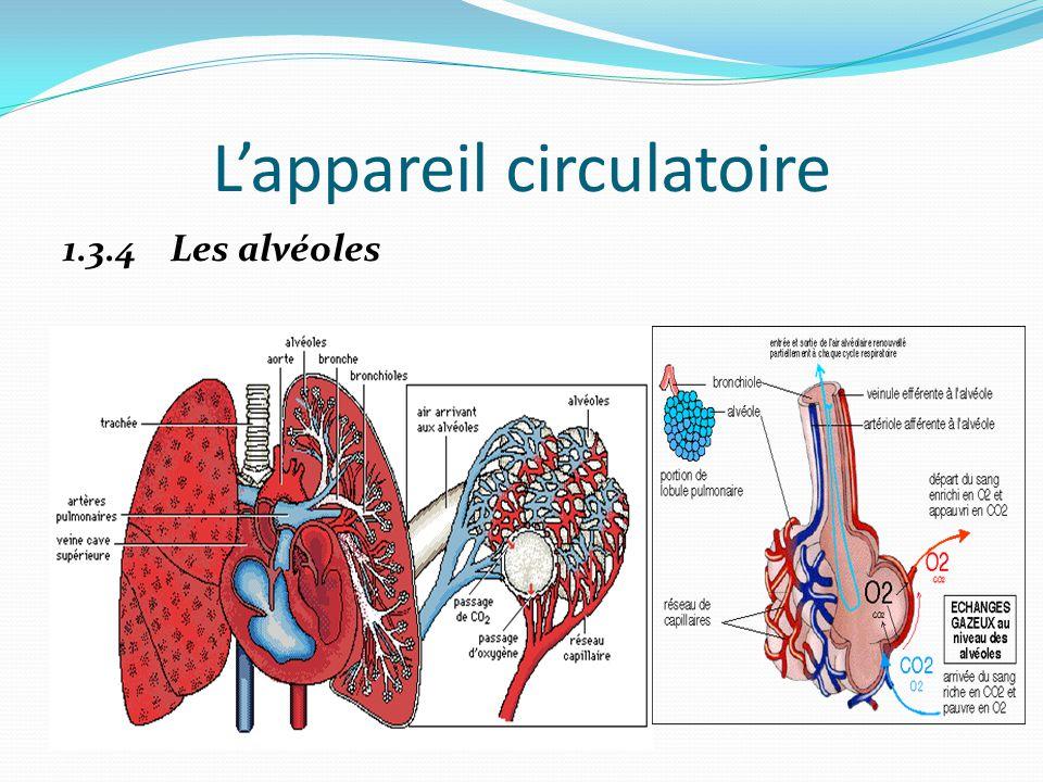 L'appareil circulatoire 1.3.4 Les alvéoles
